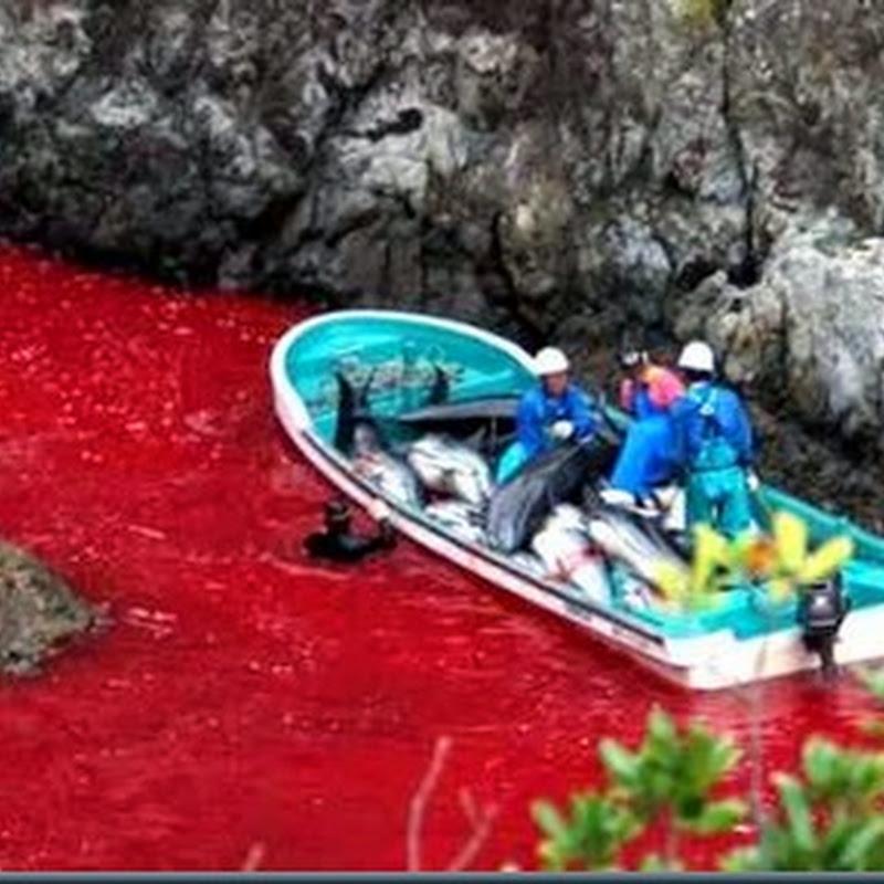 Parem a Matança! Massacre de golfinhos e baleias no Japão e Dinamarca