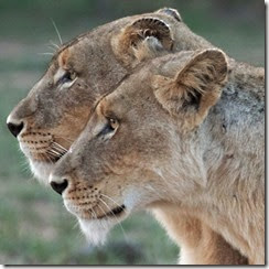 Lionnesses