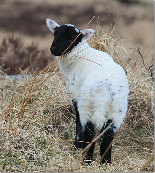 28-lamb