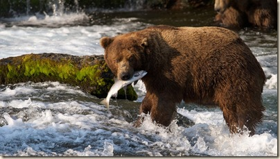 brown-bears-of-katmai-hunting-salmon-vol-2
