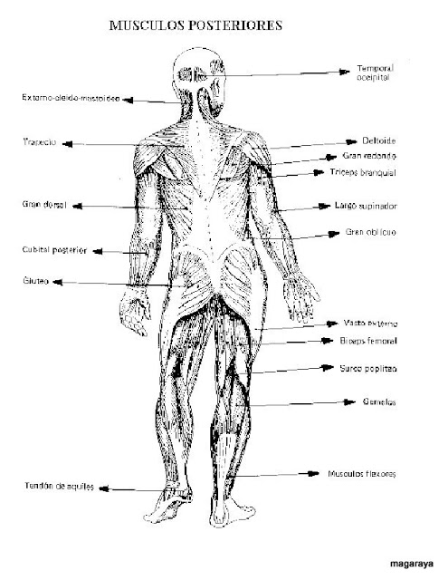 Excelente Diagrama De Músculo Para Los Niños Imagen - Anatomía de ...