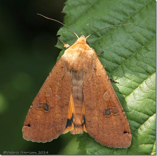 Large-Yellow-Underwing-2