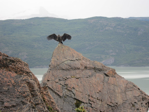 An Andean Condor, spreading its wings.