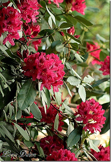 Rhododendron_Red