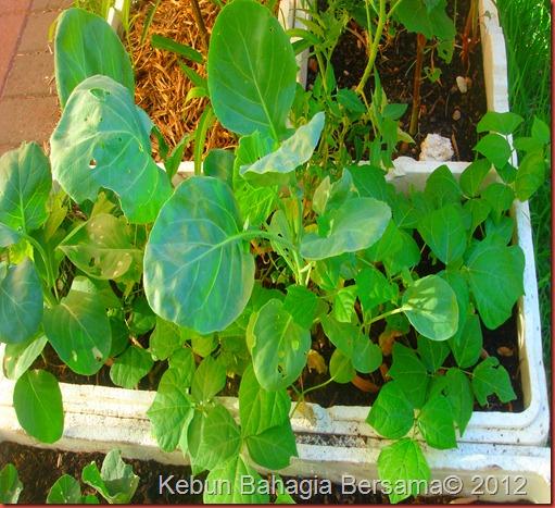 Yam bean (4)
