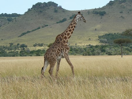 14. Girafa in Tanzania.JPG