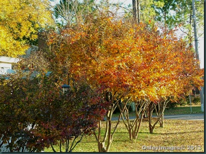 fall crepe myrtles