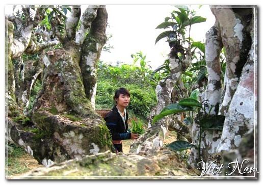 Chè Shan tuyết 300 tuổi, Yên Bái, Việt Nam