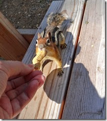 More chipmunks 001