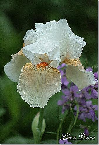 Iris_Champagne_Elegance