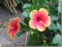 Hibiscus flowers 001