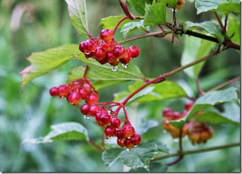 cranberry-480