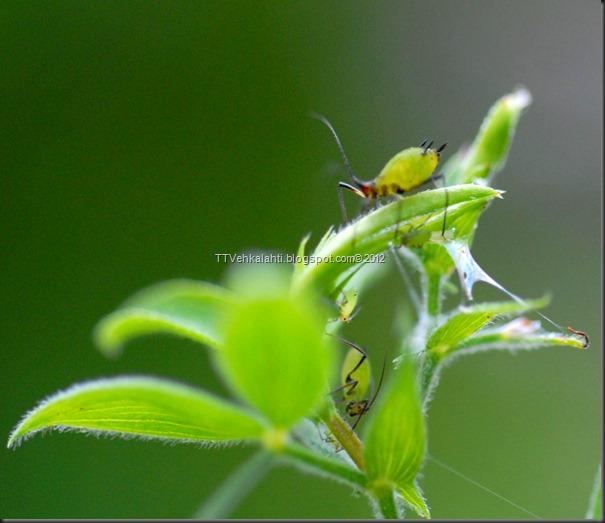 vihreä öttökkä 045