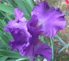 Spring 2012 blue iris2