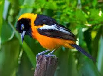 Amazing Pictures of Animals, Photo, Nature, Incredibel, Funny, Zoo, Venezuelan Troupial, Icterus icterus, Bird, Aves, Alex (8)