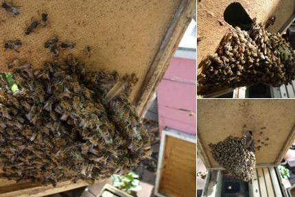 View yellow swarm hive comb removal