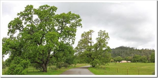 130407_Redding_Quercus-lobata_pano