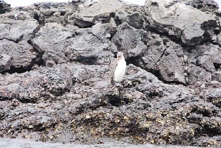 Imagini Galapagos: pinguin imperial