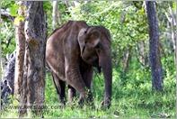 _P6A1690_wild_elephants_mudumalai_bandipur_sanctuary