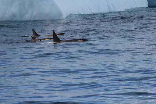 A few of the Orcas from the large pod of 15-20 we saw circling an iceberg.