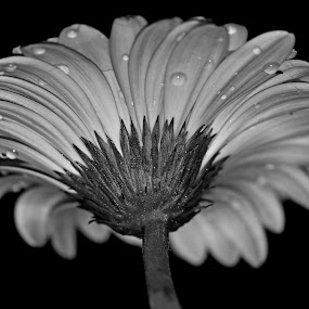 by Dipali S - Black & White Flowers & Plants ( water, nature, flora, drops, white, daisy, black, gerber, flower )