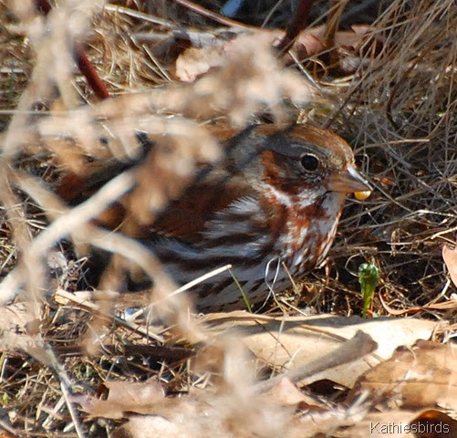 DSC_0200 fox sparrow-kab