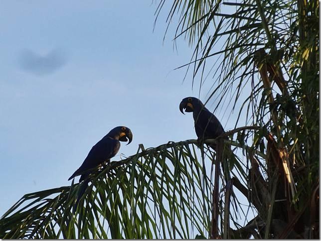 Pantanal_DSC08523