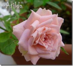 rosa rosa2