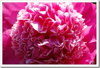 Pfingstrosenblüte © H. Brune