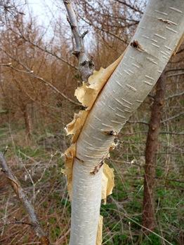 004 Betula ermanii bark Daniel Grankvist