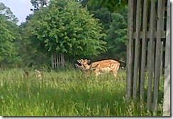 am deer 1