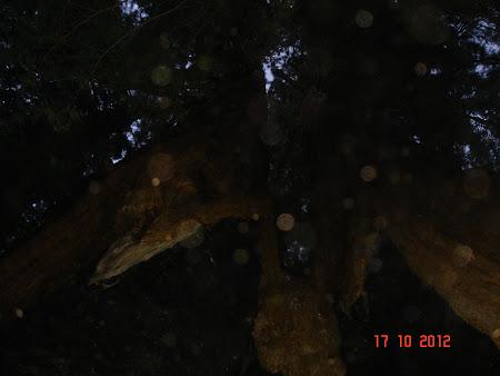 La nevoie sequoia sunt si pesteri