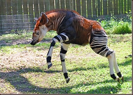 Amazing Animal Pictures Okapi (9)