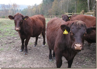 20111122 BHW cattle in Cpt 4a (4)