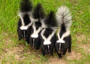Amazing Pictures of Animals, Photo, Nature, Incredibel, Funny, Zoo, Skunks, Polecats, Mammals, Alex (2)