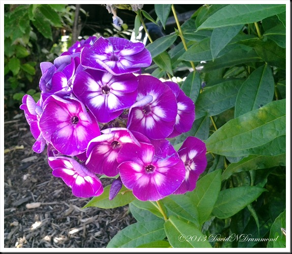 Phlox Drummondii - beautiful purple and white flowers
