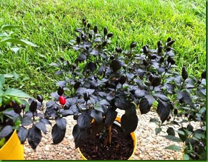 Pepper Black Prince