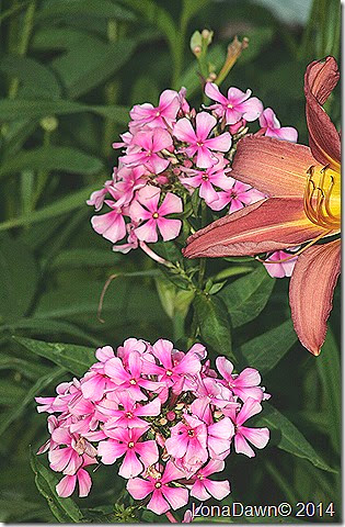 Phlox paniculata Miss Ellie2 July