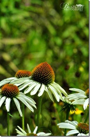 white-cone-flower