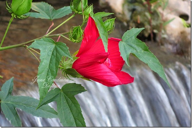 Hibiscus_waterfall