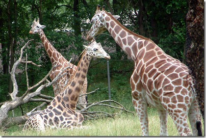 bronx-zoo-giraffes