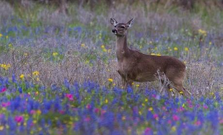 deer in bluebonnets