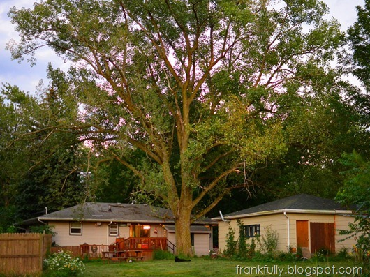 our humongous cottonwood tree