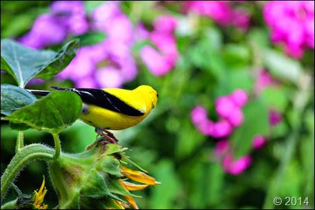 GoldfinchSunflower2