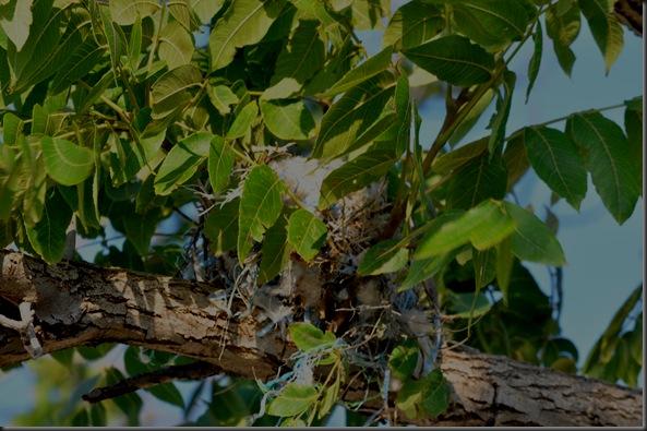 07-01-12 western kingbird 03
