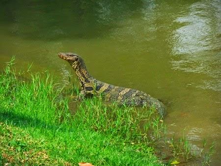 un lagarto del parque Lumpini