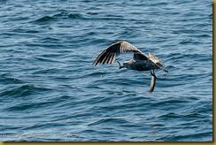 Herring Gull with Fish