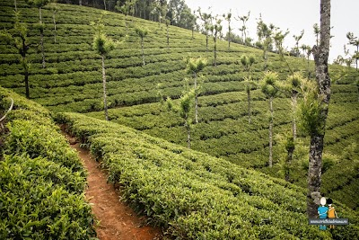7-plantatii-de-ceai-in-ooty-india.jpg