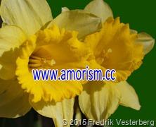 DSC01071 (1) Blomma Påskliljor med amorism