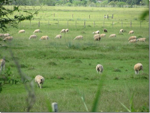 Ovelhas Pastando (5)
